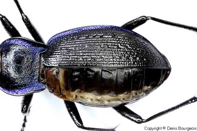 Les insectes sans ailes Carabus%20problematicus%20-%20Aptere