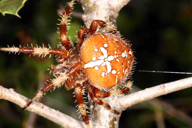 Araneus diadematus - Copyright Denis Bourgeois