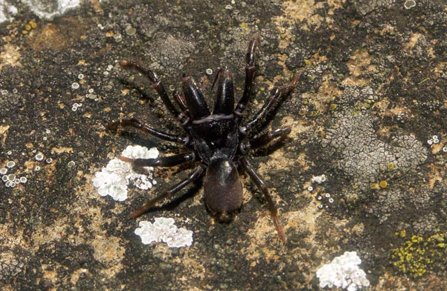 Atypus affinis - Copyright Hugues Mouret