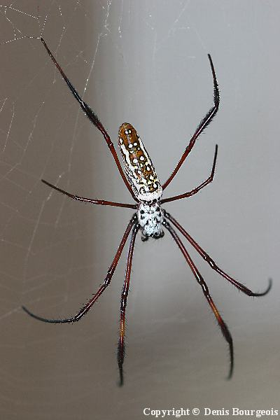 Nephila madagascariensis - Copyright Denis Bourgeois