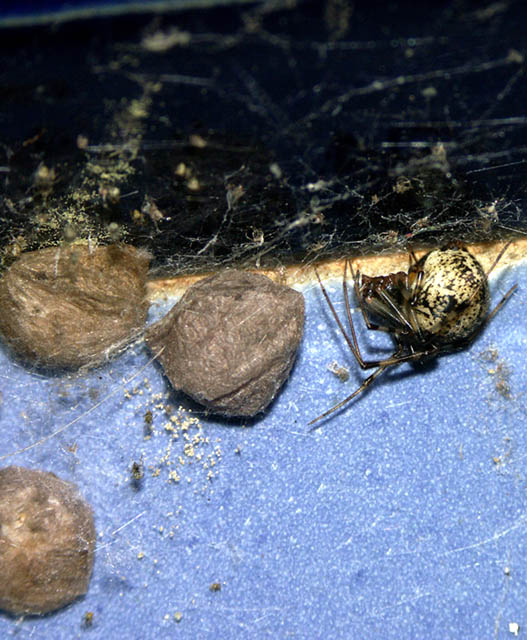 Parasteatoda tepidariorum - Copyright Hugues Mouret