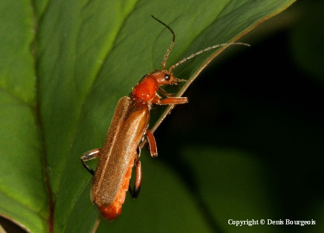 Cantharis livida - Copyright Denis Bourgeois