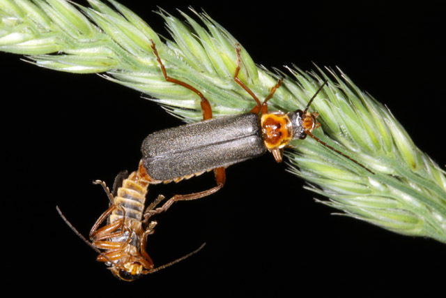 Cantharis nigricans - Copyright Denis Bourgeois