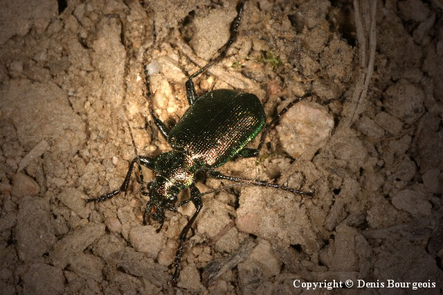 Calosoma inquisitor - Copyright Denis Bourgeois