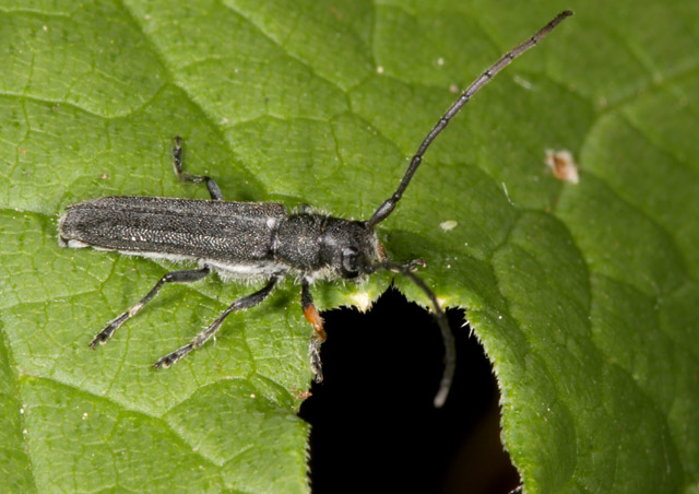 Phytoecia cylindrica - Copyright Denis Bourgeois