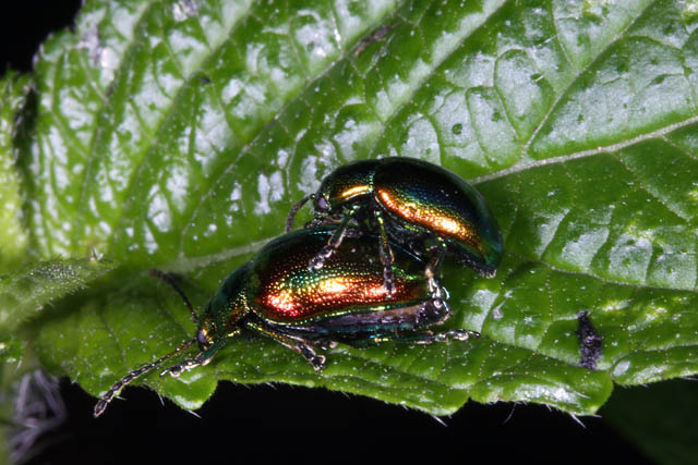 Chrysolina fastuosa - Copyright Denis Bourgeois