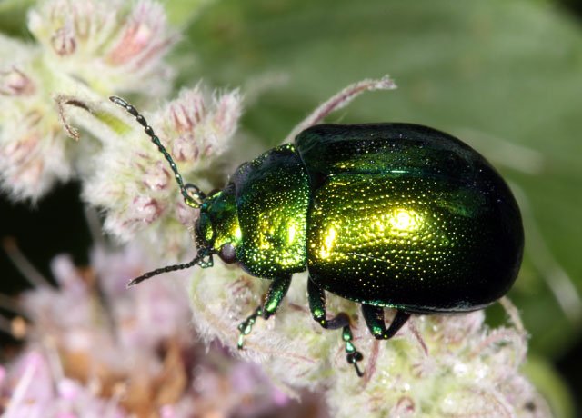 Chrysolina herbacea - Copyright Denis Bourgeois