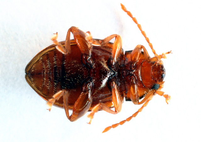 Neocrepidodera ferruginea - Copyright Denis Bourgeois