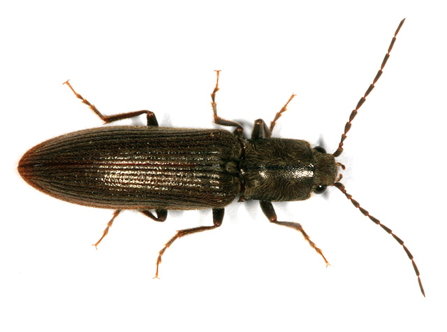 Synaptus filiformis - Copyright Denis Bourgeois