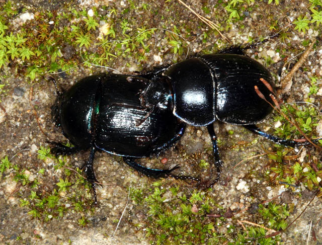 Anoplotrupes stercorosus - Copyright Denis Bourgeois