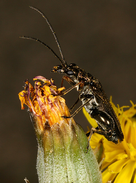 Oedemera flavipes - Copyright Denis Bourgeois