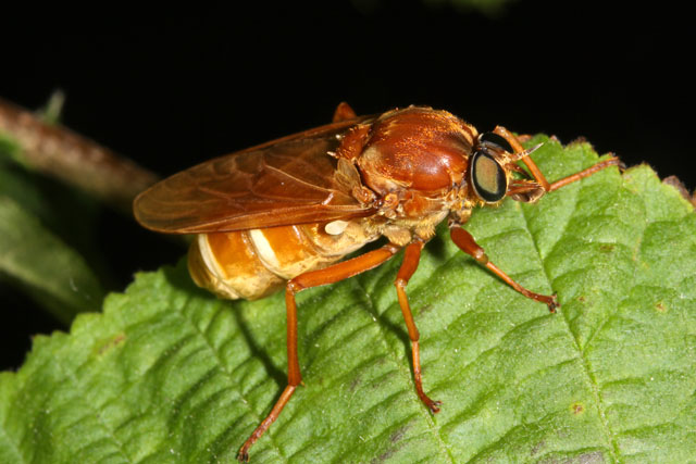 Coenomyia ferruginea - Copyright Denis Bourgeois