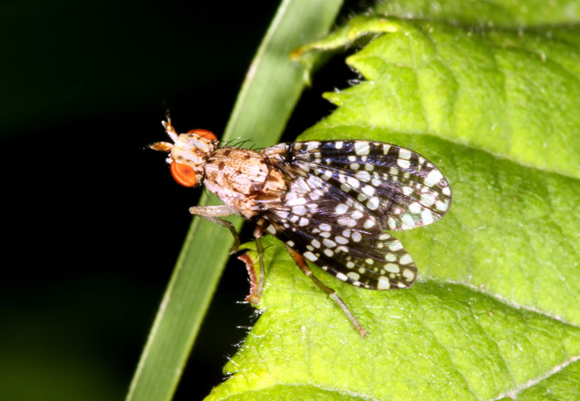 Trypetoptera punctulata - Copyright Denis Bourgeois