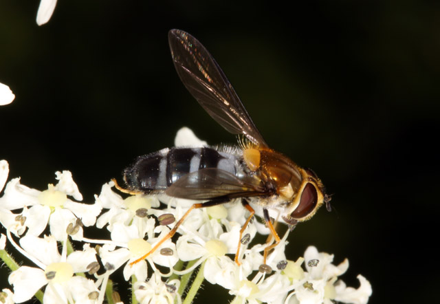 Leucozona glaucia - Copyright Denis Bourgeois