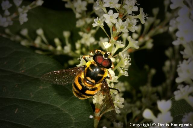 Myathropa florea - Copyright Denis Bourgeois