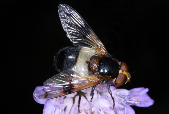 Volucella pellucens - Copyright Denis Bourgeois