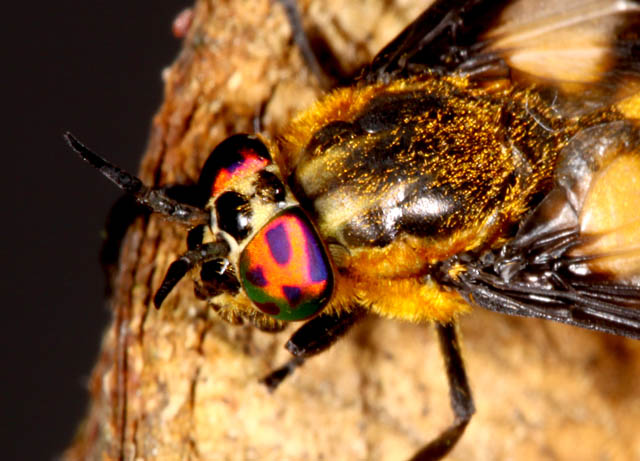 Chrysops caecutiens - Copyright Denis Bourgeois