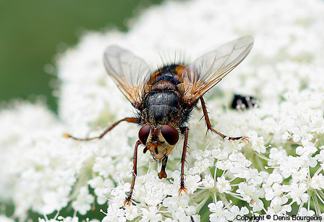 Tachina fera - Copyright Denis Bourgeois