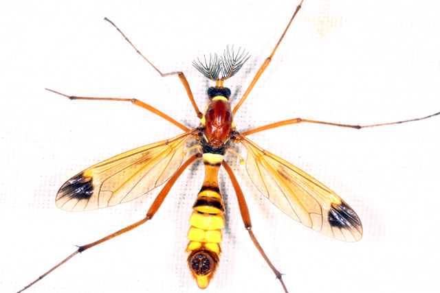 Ctenophora ornata - Copyright Denis Bourgeois