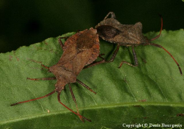 Coreus marginatus - Copyright Denis Bourgeois