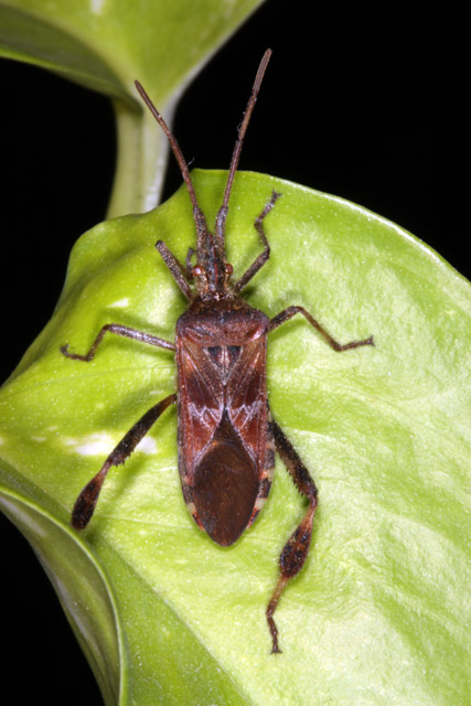 Leptoglossus occidentalis - Copyright Denis Bourgeois