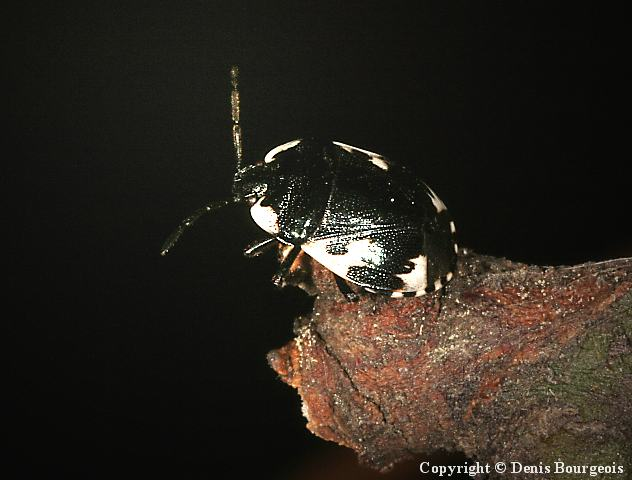 Tritomegas bicolor - Copyright Denis Bourgeois
