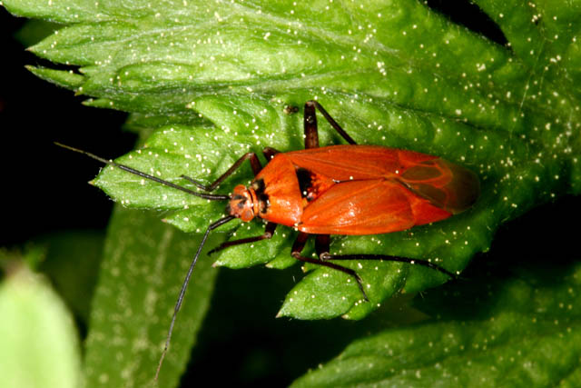 Calocoris nemoralis - Copyright Denis Bourgeois