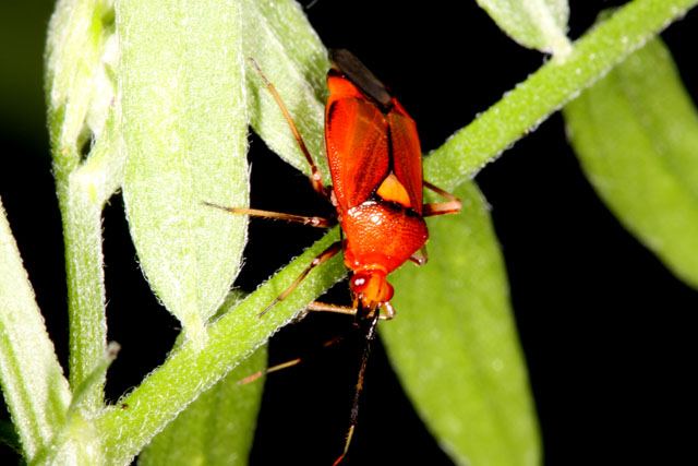 Deraeocoris ruber - Copyright Denis Bourgeois