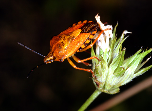 Carpocoris fuscispinus - Copyright Denis Bourgeois