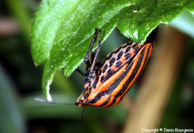 Graphosoma italicum - Copyright Denis Bourgeois