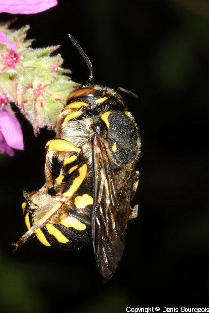 Anthidium manicatum - Copyright Denis Bourgeois