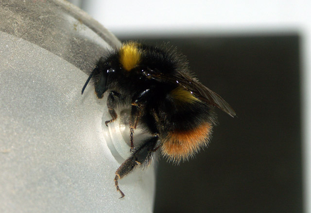 Bombus pratorum- Copyright Hugues Mouret