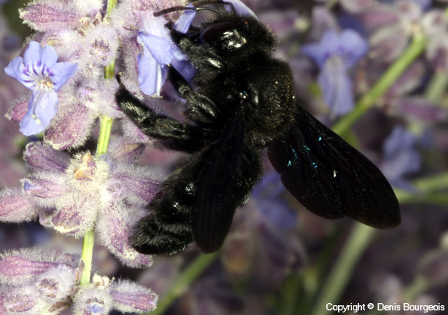 Xylocopa violacea - Copyright Denis Bourgeois