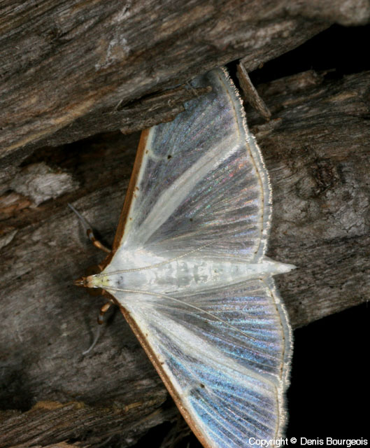 Palpita vitrealis - Copyright Denis Bourgeois