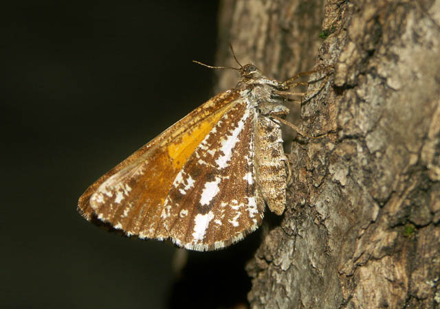 Bupalus piniaria - Copyright Hugues Mouret