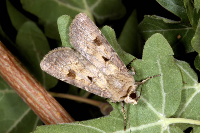 Agrotis exclamationis - Copyright Denis Bourgeois