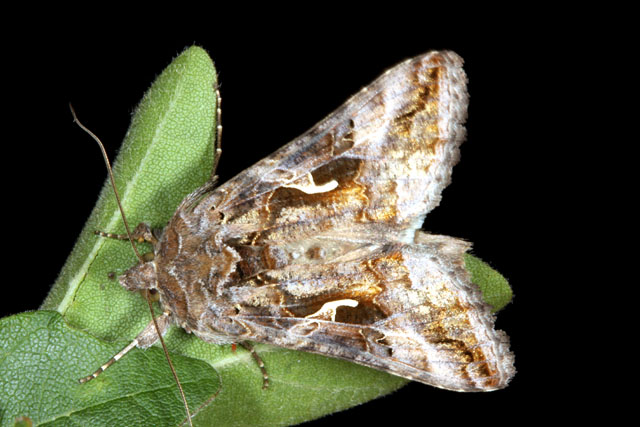 Autographa gamma - Copyright Denis Bourgeois