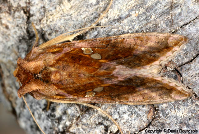 Autographa jota - Copyright Denis Bourgeois