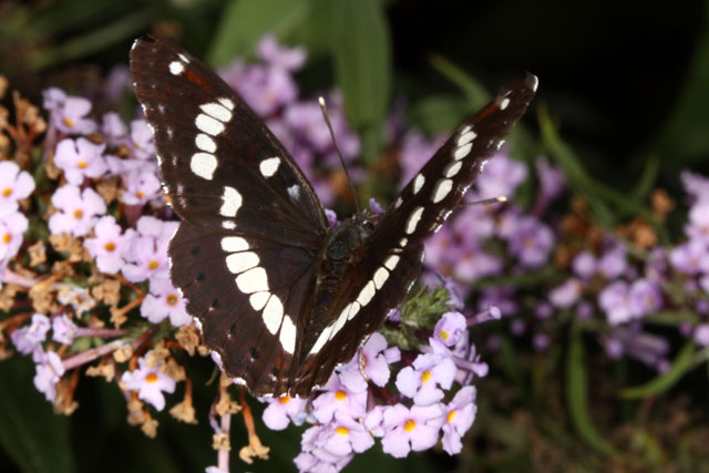 Limenitis reducta- Copyright Denis Bourgeois