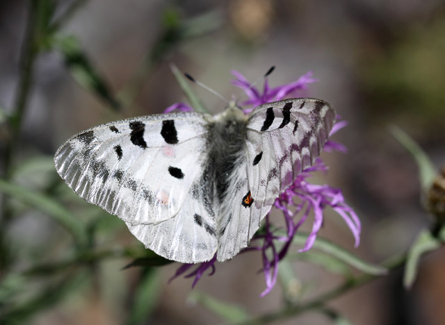 Parnassius apollo - Copyright Denis Bourgeois