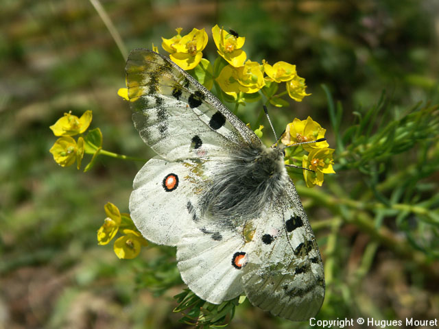 Parnassius apollo - Copyright Hugues Mouret
