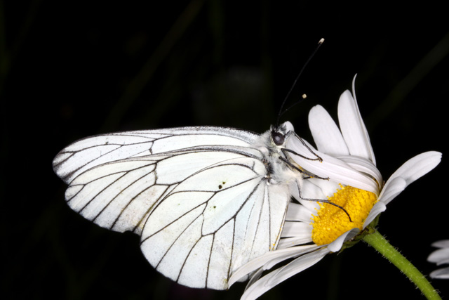Aporia crataegi - Copyright Denis Bourgeois
