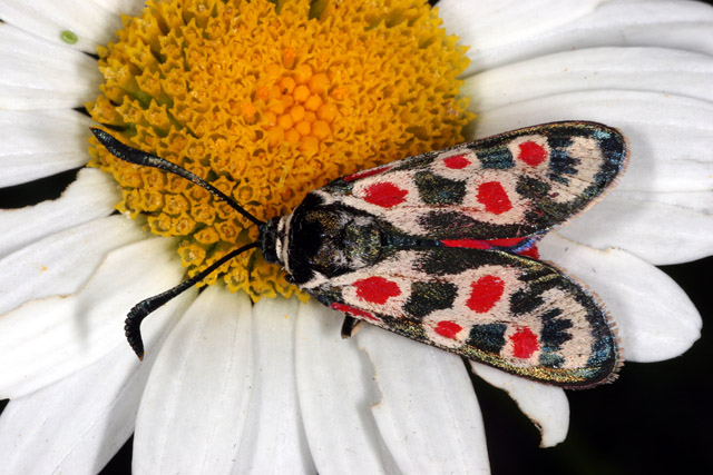 Zygaena occitanica - Copyright Denis Bourgeois