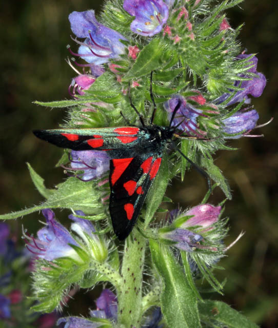 Zygaena transalpina - Copyright Denis Bourgeois