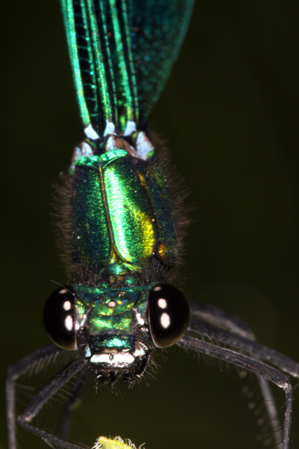 Calopteryx virgo - Copyright Denis Bourgeois