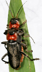 Cantharis_fusca